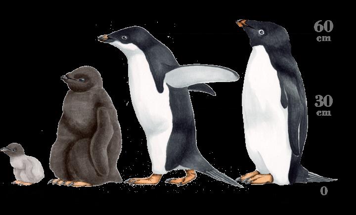 アデリーペンギンの画像 p1_23