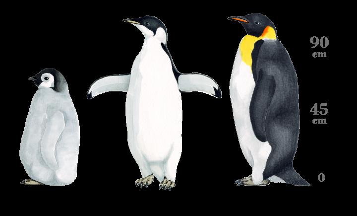 皇帝 ペンギン