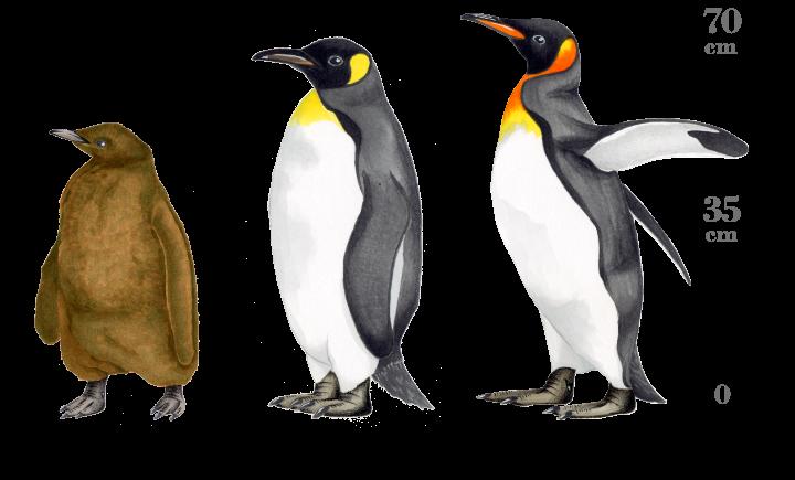 赤ちゃん キング ペンギン