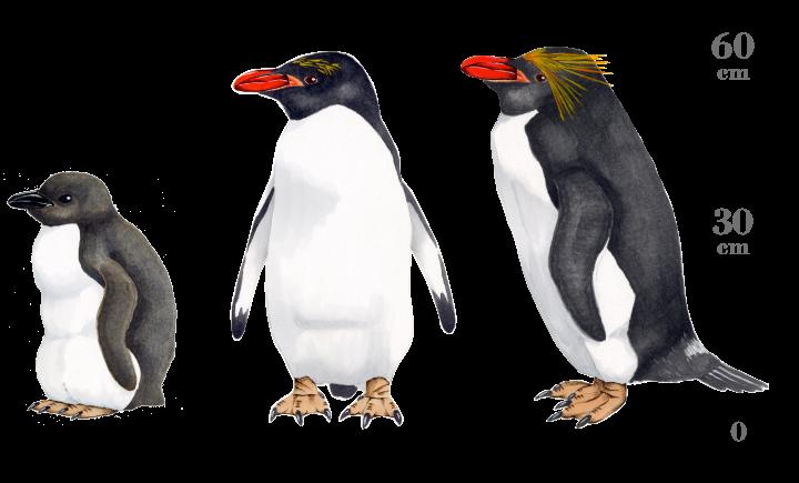 マカロニペンギン:ペンギンライ...