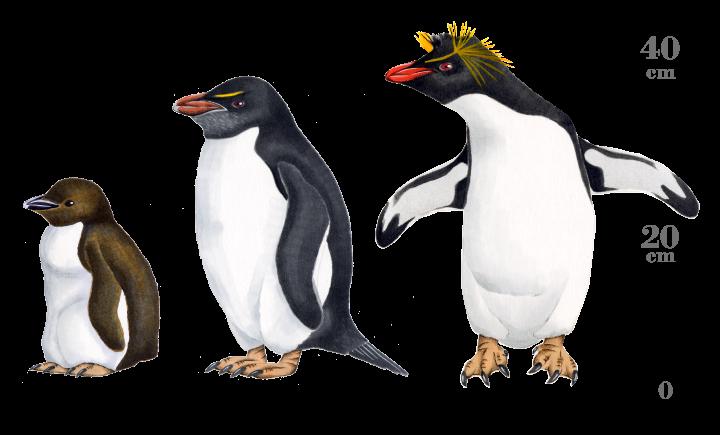 イワトビペンギン:ペンギンライ...